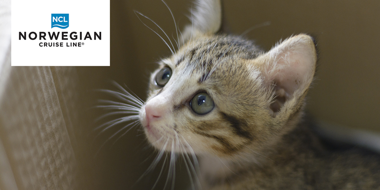 ncl abyssinian cat
