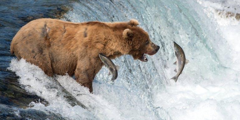 alaska bear salmon river ketchikan shopping
