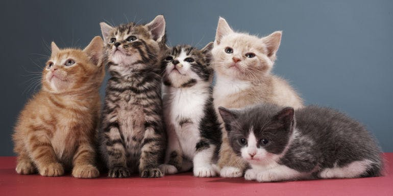 cat meow meow cruise kittens theme