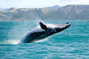 coast maui whale watching maui hawaii